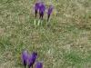 Na całym wzgórzu pięknie kwitły krokusy, wyraźne zwiastuny zbliżającej się wiosny. Podobno wszystkie zakwitły poprzedniej nocy. Na nasz przyjazd!